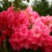 Pink Rhododendron